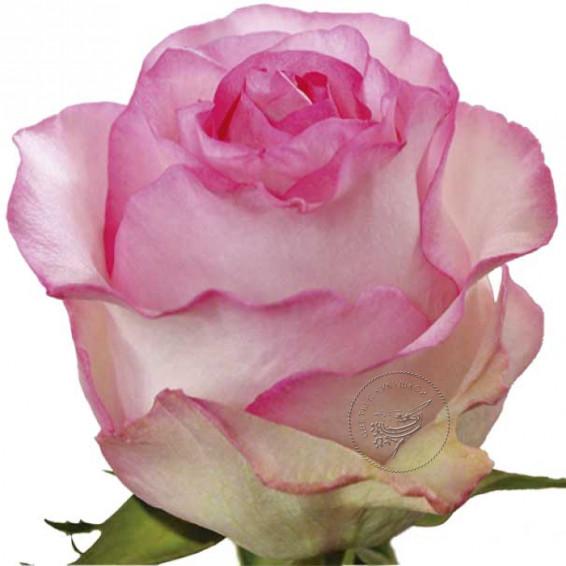 """Роза """"Белла вита"""""""