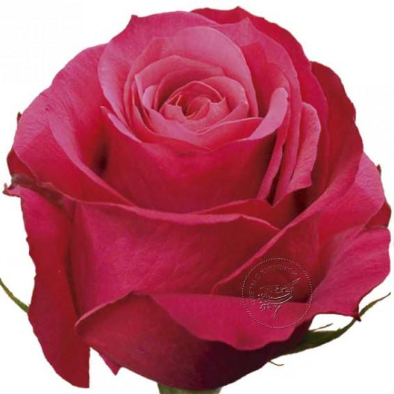 """Вишнёвая роза """"Cherri-O"""""""