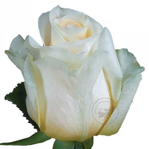 Роза Creme-de-la-Creme