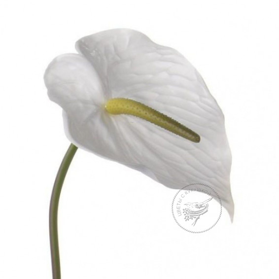 Антуриум Белый