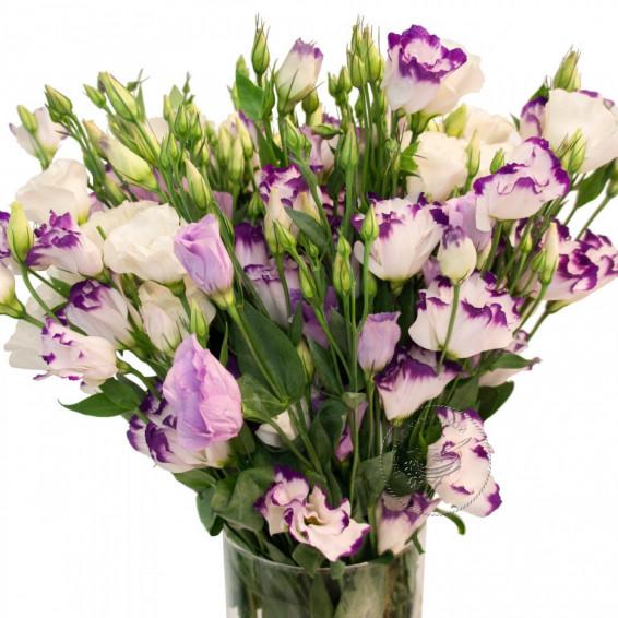 Лизиантус Бело-фиолетовая