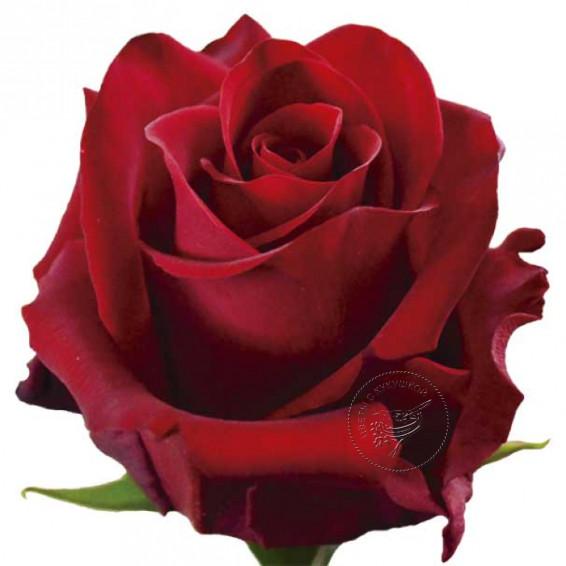 """Красная роза """"Explorer"""""""