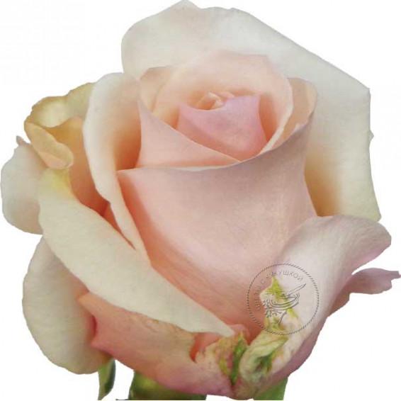 Роза Фаворит