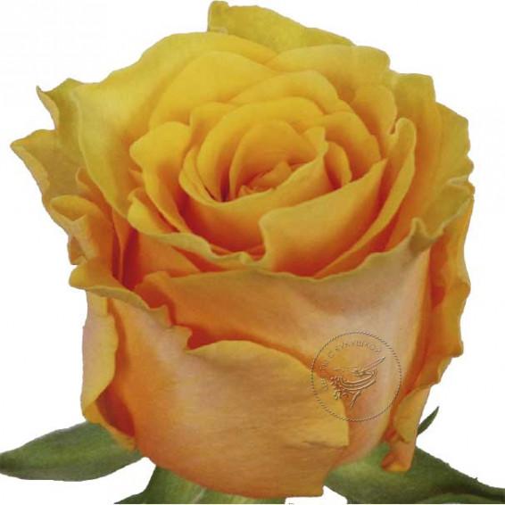 Роза Frida