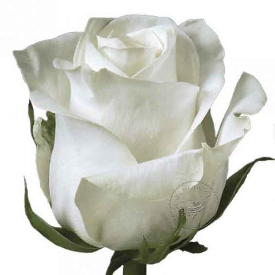 Роза Polar -Star