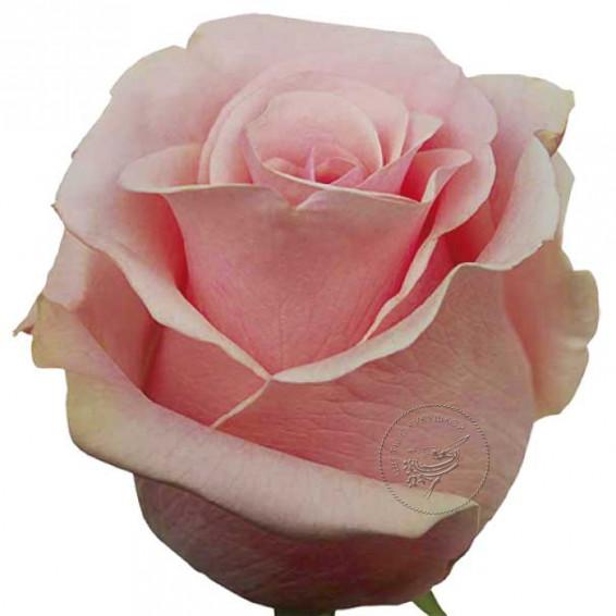 Роза Titanik