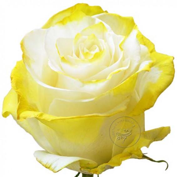 Роза Yellow-New-Tinted