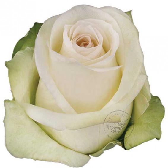 Белая роза Альба
