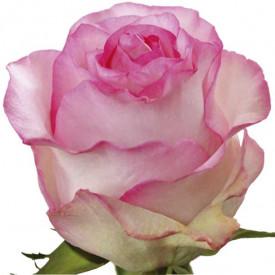Роза Bella-Vita
