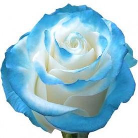 Роза Blue-New-Tinted