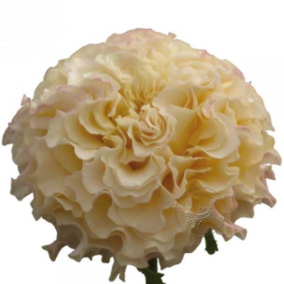 """Пионовидная роза """"Campanella Peach"""""""