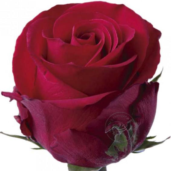 """Красная роза """"Checkmate"""""""