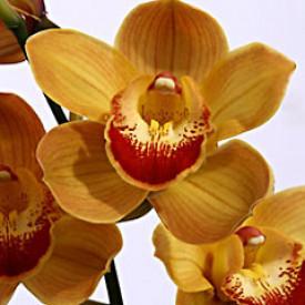 Орхидея Рыжая