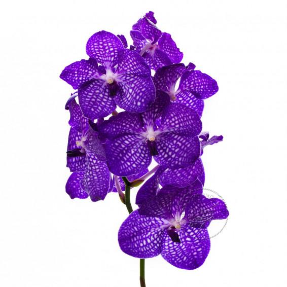 Орхидея Ванда Фиолетовая