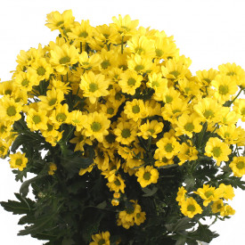 Хризантема Сантини Авизо (жёлтая)