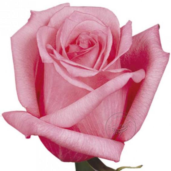 """Роза """"Dark-Engagement"""""""