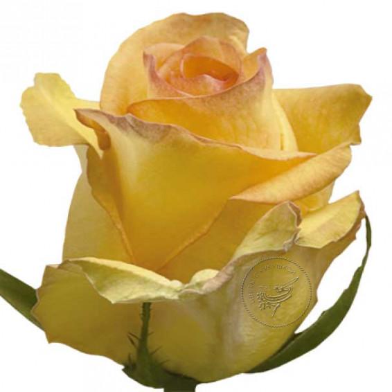 Роза Deja-vu