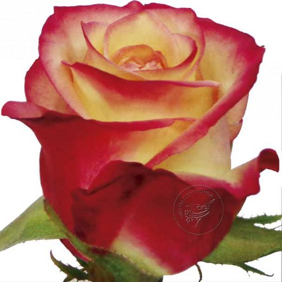 Роза Felicity