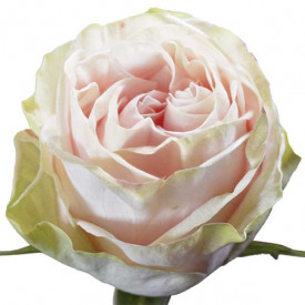 Роза Garden Spirit
