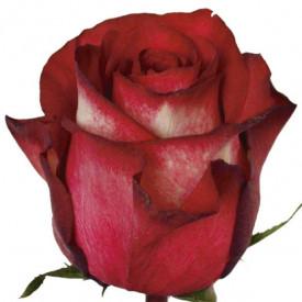 Роза Iguazu