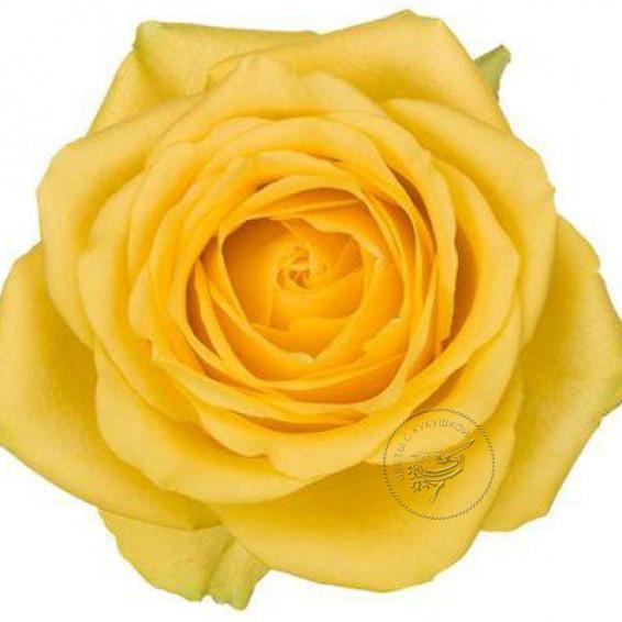 Роза Latina