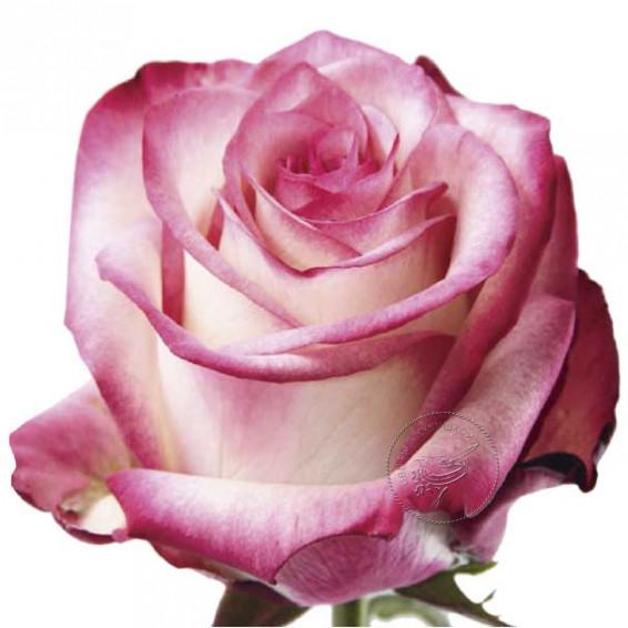 Роза Paloma