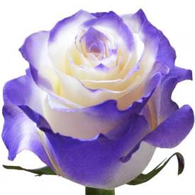 Роза Purple-New-Tinted