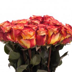 Роза High Magic