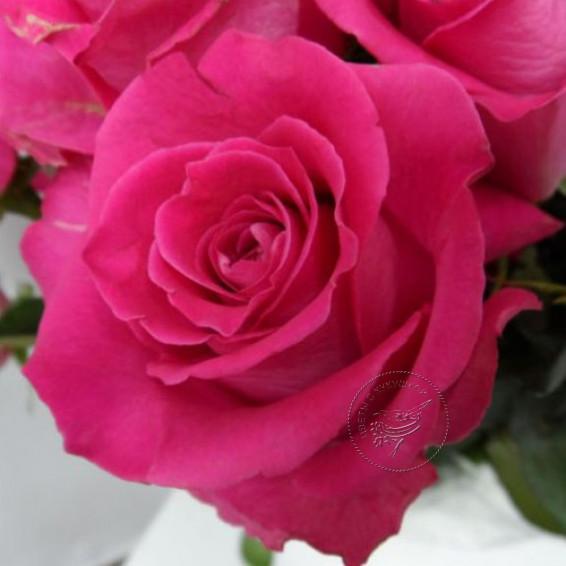 Роза Pink Floyd