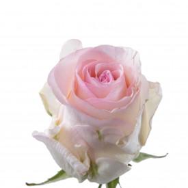 Роза Senorita