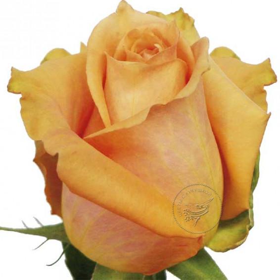 Роза Shukrani