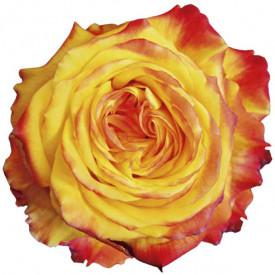 Роза Spinelli