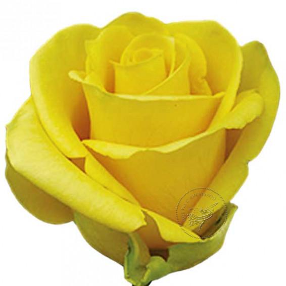 Роза Tara