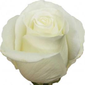 Роза Tibet