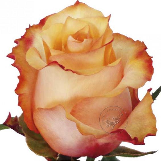 Роза Twilight
